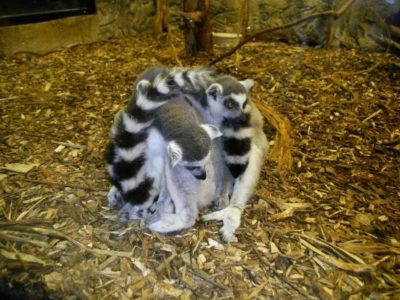 Ring Tail Lemurs at Rainforest Adventures