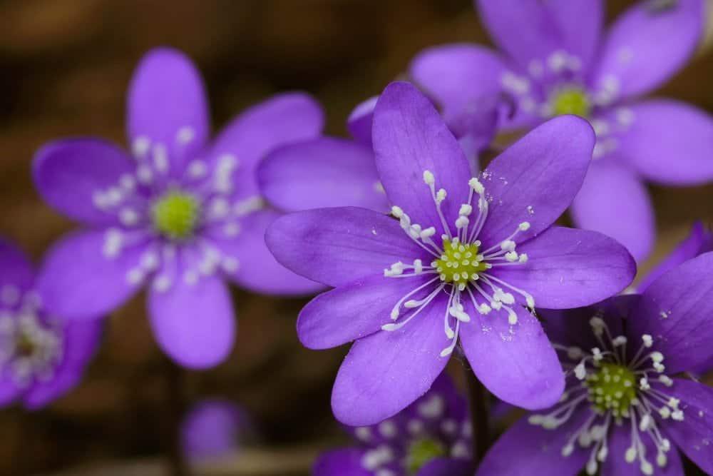 Purple flowers ar the 2015 Smoky Mountain Wildflower Pilgrimage
