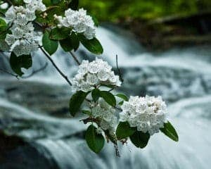Mountain Laurel on Smoky Mountain Hiking Trail