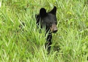 Black bear cub in meadow at Cades Cove