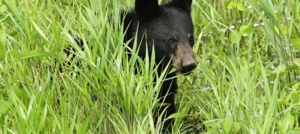 Black bear cub in meadow at Cades Cove
