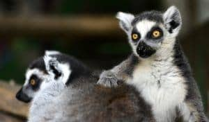 Ring Tailed Lemur at Rainforest Discovery Zoo in Sevierville TN